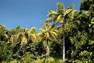 <i>Howea forsteriana</i> Species of palm