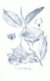 Hoya lauterbachii GS429.png