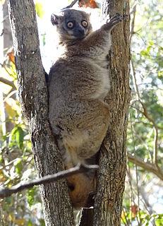 Hubbards sportive lemur Species of mammal