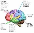 Human brain ckb.jpg