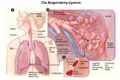 Human respiratory system-NIH.PNG