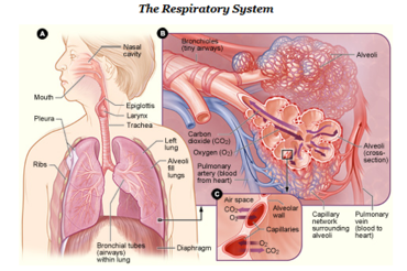 Respiratory system simple english wikipedia the free encyclopedia respiratory system ccuart Images
