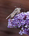 Hummingbird Moth at rest (4905876604).jpg