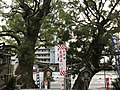 Husband and Wife Camphor Trees of Kitaoka Shrine.jpg