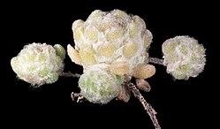 Hyalochlamys globifera - Flickr - Kevin Thiele.jpg