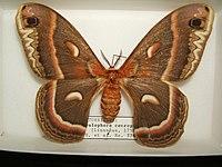 Hyalophora cecropia adult female sjh.JPG