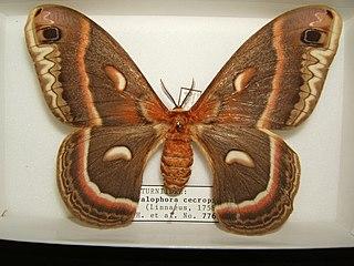 <i>Hyalophora cecropia</i> Species of moth