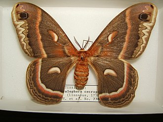 Hyalophora cecropia - Mounted adult female