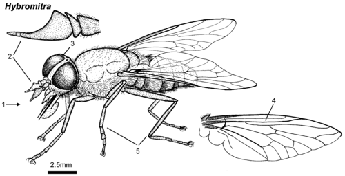 Hybromitra female lateral.png