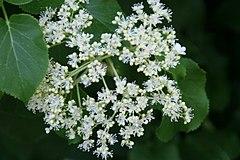 240px hydrangea anomala petiolaris 13zz