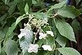 Hydrangea heteromalla fleurs.jpg