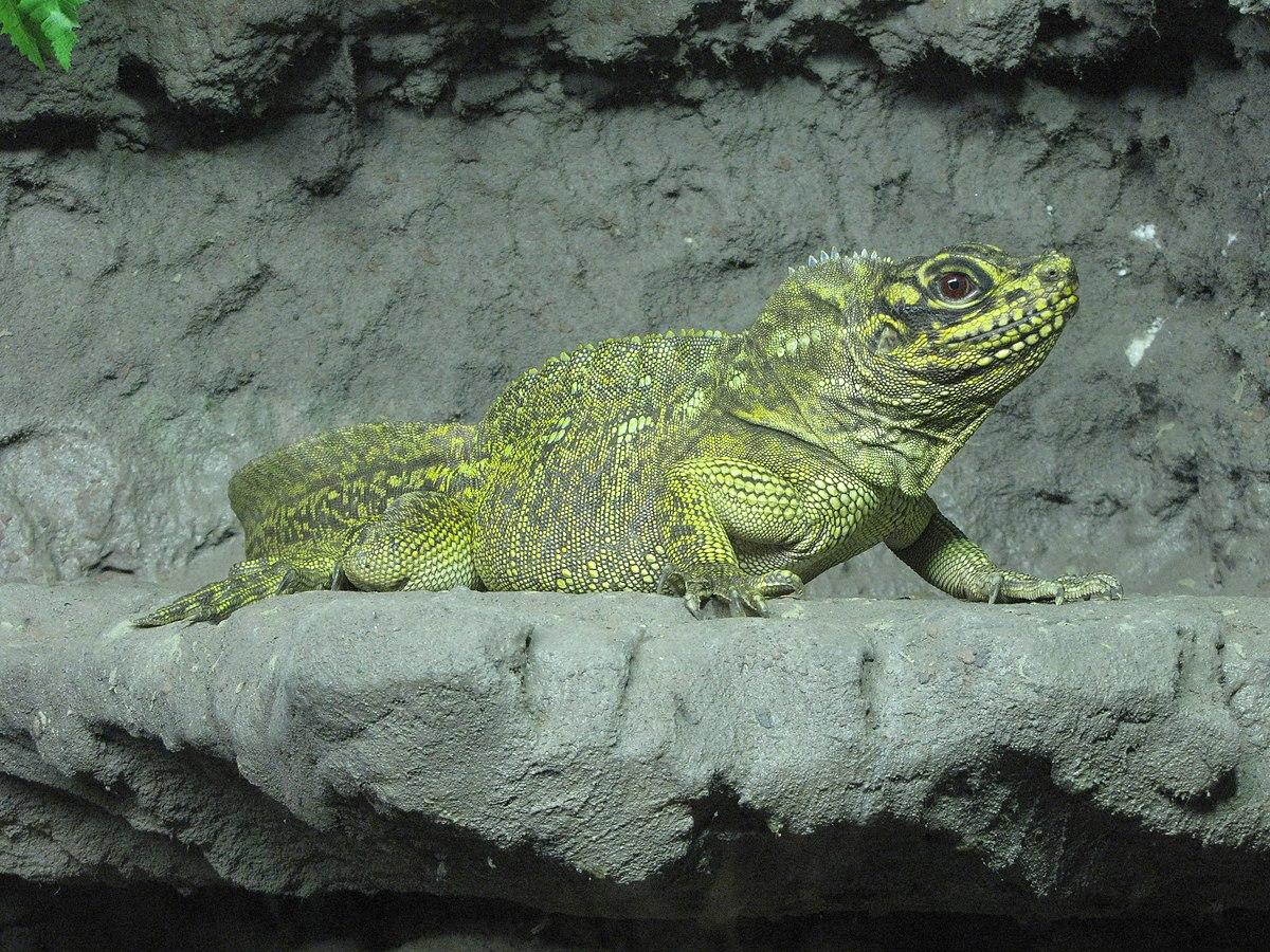 Philippine sailfin lizard - Wikipedia