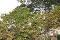 Hymenaea courbaril 14zz.jpg