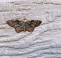 Hypagyrtis Unipunctata.jpg