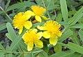 Hypericum kalmianum - Botanischer Garten, Frankfurt am Main - DSC02524.JPG