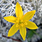 Hypoxis juncea (Fringed Yellow Stargrass) (12966954553).jpg