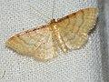 Idaea humiliata - Isle of Wight wave - Малая пяденица скромная (40263678014).jpg