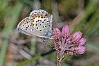 Idas blue (Plebejus idas) male underside Sweden.jpg
