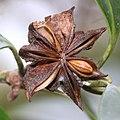 Illicium anisatum (fruits s12).jpg