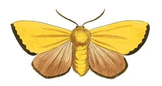 <i>Antheua servula</i> Species of moth
