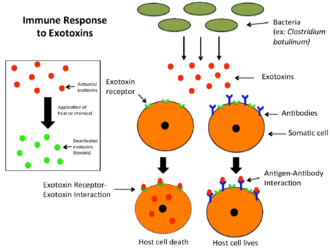 Exotoxin - Image: Immune Response to Exotoxins
