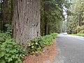 In the redwoods (21921030042).jpg