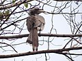Indian Grey Hornbill - Ocyceros birostris - DSC04554.jpg