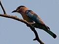 Indian Roller (Coracias benghalensis) in AP W IMG 8103.jpg