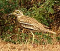 Indian Thick-knee Burhinus indicus by Dr. Raju Kasambe DSCN9380 (13).jpg