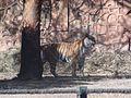 Indian Tiger1.jpg