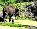 Indian elephant, from Mudumalai tiger reserve.jpg