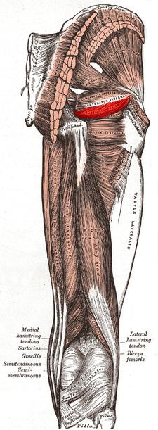 musculus gemellus inferior