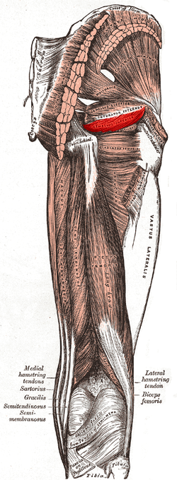 Inferior gemellus muscle.PNG