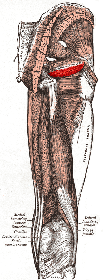 Inferior gemellus muscle - Muscles of the gluteal and posterior femoral regions with inferior gemellus muscle highlighted.