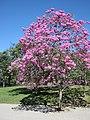Ipe rosa tabebuia avellanedae parque flamengo.jpg