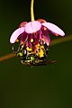 Iridescent bee pollinating.JPG