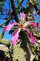 Israel-04713 - Silk Floss Flower (33508737652).jpg