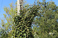 Ivy and telephone pole at north of village green at Matching Green, Essex, England.jpg
