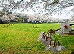 Izumi natural Park Sakura.JPG