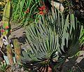 J20170325-0023—Kumara (Aloe) plicatilis (33627416766).jpg