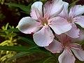 JNU Pink Flowers.jpg