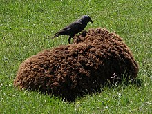 Photo of a jackdaw on a resting sheep