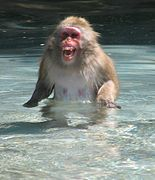 Japanese Macaque 001.jpg