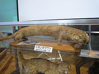 Japanese otter Species of otter