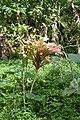 Jardin botanique de Bom Sucesso (São Tomé) (32).jpg