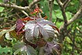 Jatropha gossypiifolia - Bellyache Bush - at Beechanahalli 2014 (11).jpg