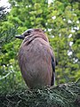 Jay (Garrulus glandarius), Regents Park, London (6999445174).jpg