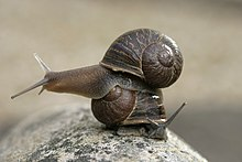 Jeremy the left-coiling snail on top of a right-coiling snail, Theresa.jpg