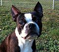 Joe-Joe the Boston Terrier (age 2).jpg