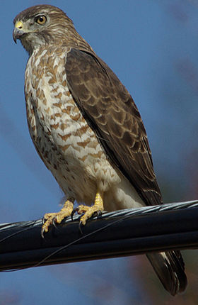 Julie Waters broad winged hawk.JPG